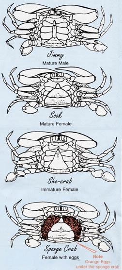Steamed Blue Crabs By The Dozen
