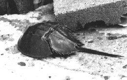 Horseshoe Crabs - Delaware & Maryland